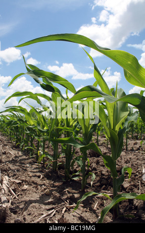 Young Corn Plants in Row Against Blue Sky with Cumulus Clouds - Stock Photo