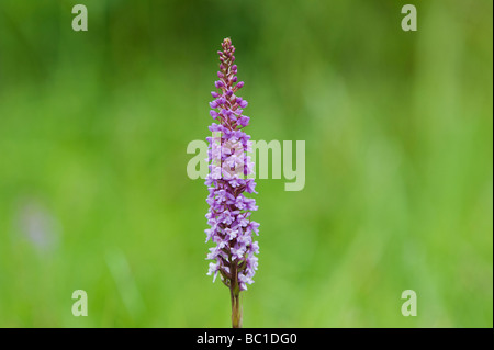 Gymnadenia conopsea . Fragrant Orchids in the grass in an English nature reserve - Stock Photo