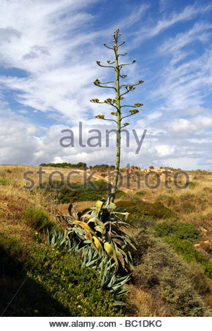 Century Plant also named Maguey in bloom | drageons d'agave - Stock Photo