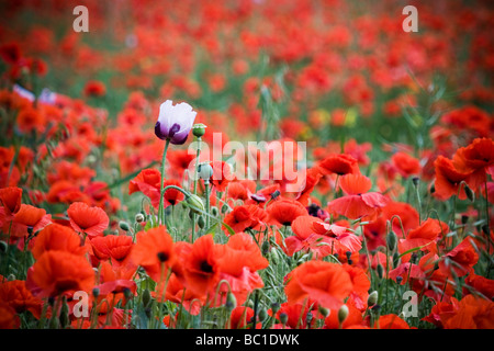 Purple and White poppy amongst a field of red poppies - Stock Photo