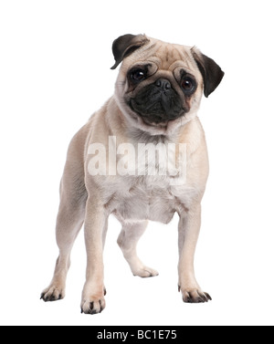 Beige pug standing up in front of the camera 2 years old in front of a white background - Stock Photo