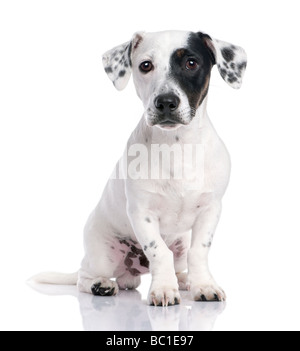 Jack russell puppy isolated and sitting in front of the camera - Stock Photo