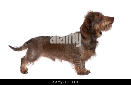 profile of a Brown Wire haired dachshund looking up 3 yeras old in front of a white background - Stock Photo