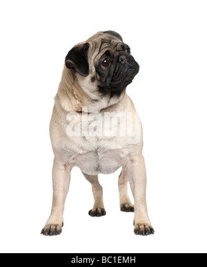 Pug in front of a white background - Stock Photo
