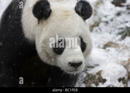 Giant panda on snow Wolong Sichuan China - Stock Photo