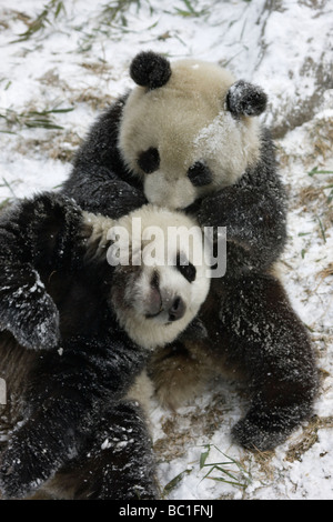 Two Giant panda cubs playing on snow Wolong Sichuan China - Stock Photo