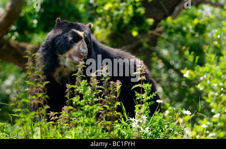 Spectacled Bear (Tremarctos ornatus) also know as the Andean Bear - Stock Photo