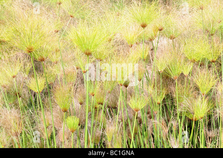 Papyrus Sedge or Paper Reed Cyperus papyrus Mlilwane Wildlife Sanctuary Swaziland South Africa - Stock Photo