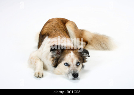 Mixed Breed Dog crossbred Border Collie - Stock Photo