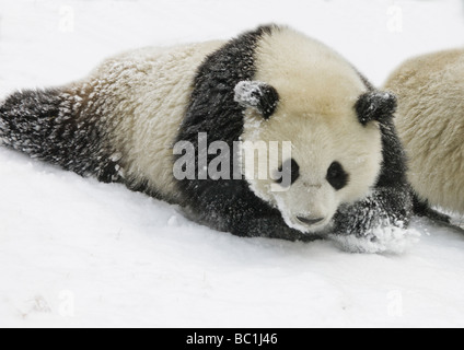 Giant panda cub on snow Wolong Sichuan China - Stock Photo