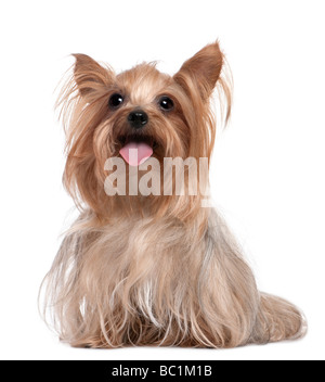 Yorkshire Terrier panting 3 years old in front of a white background - Stock Photo