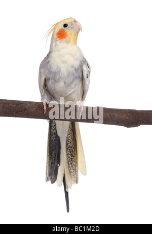 Cockatiel perching on a branch Nymphicus hollandicus in front of a white background - Stock Photo