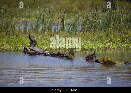 Turtles basking in the sun on a log, Rainbow River, Florida, USA - Stock Photo