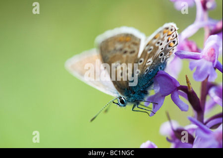 Polommatus icarus. Common blue butterfly on a Fragrant orchid in the english countryside - Stock Photo