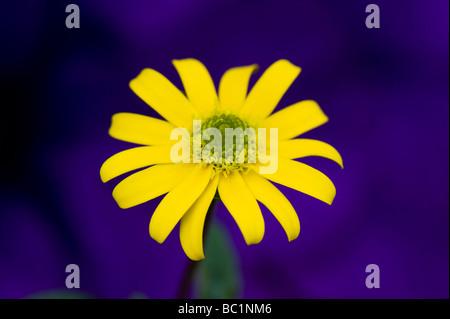 Sanvitalia Speciosa 'aztec gold'. Creeping Zinnia flower against purple background - Stock Photo