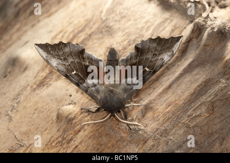 Poplar Hawkmoth Laothoe populi - Stock Photo