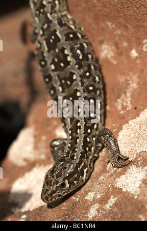 Female sand lizard Lacerta agilis Dorset UK - Stock Photo