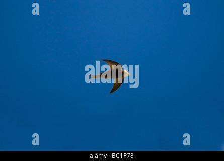 Pallid Swift Apus pallidus in flight under blue skies during April in Extremadura Spain - Stock Photo