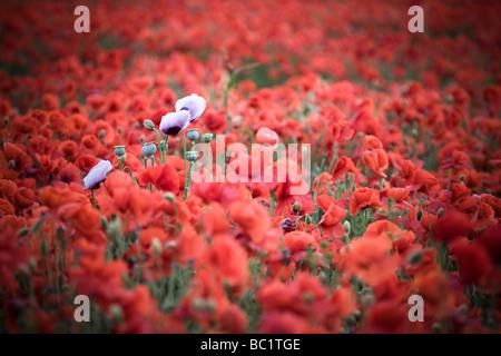 Poppy buds amongst a poppy field Kent - Stock Photo