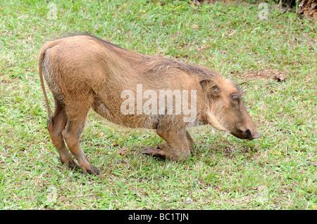 Warthog Phacochoerus africanus grazing Mlilwane Wildlife Sanctuary Swaziland South Africa - Stock Photo
