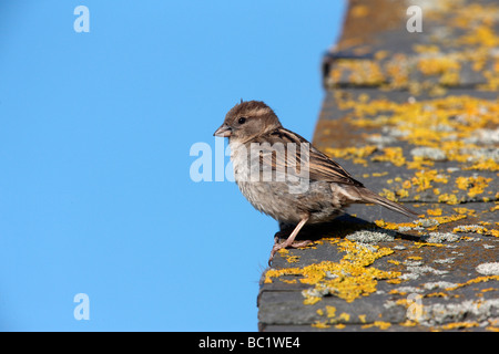 House sparrow Passer domesticus female Scotland summer - Stock Photo