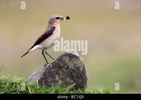 Northern wheatear Oenanthe oenanthe female Scotland summer - Stock Photo
