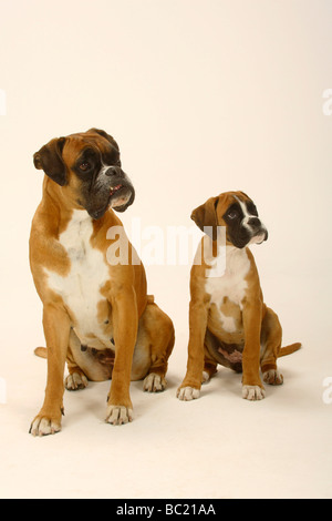 German Boxer with puppy 3 month - Stock Photo