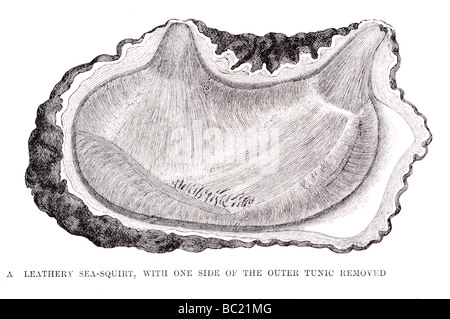 a leathery sea squirt with one side of the outer tunic removed - Stock Photo