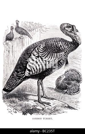 common turkey - Stock Photo