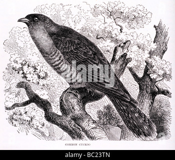 common cuckoo - Stock Photo