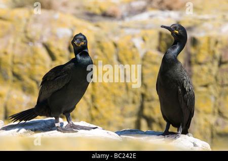Shag (Phalacrocorax aristotelis), Farne Islands, Northumberland - Stock Photo