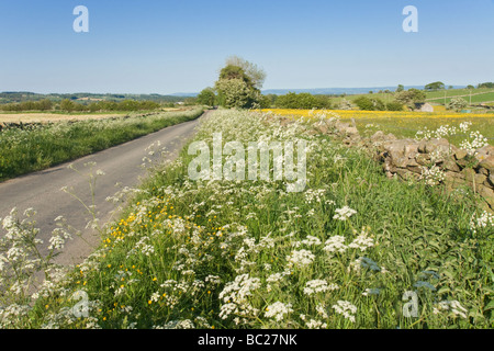 Country road near Leyburn, North Yorkshire.  grass verge with cow parsley in flower and a field covered in dandelions. - Stock Photo