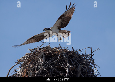 osprey taking off from nest - Stock Photo