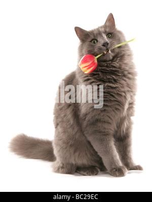 cat holding tulip portrait studio - Stock Photo