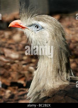 Red-legged Seriema or Crested Cariama, Cariama cristata, Cariamidae. South American Bird. - Stock Photo
