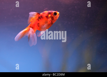 Goldfish portrait Carassius auratus auratus fishtank - Stock Photo