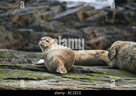 dh Common Seal SEAL UK Phoca vitulina Seals one year old pup on rock North Ronaldsay cub Scotland - Stock Photo
