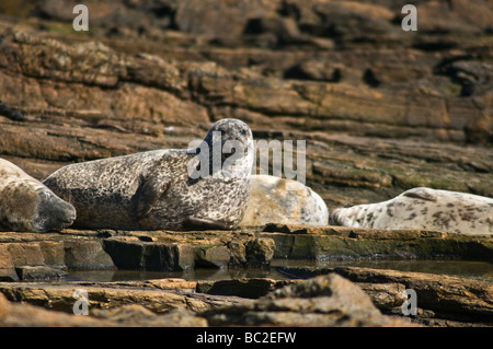 dh Common Seal SEAL UK Harbor seals Phoca vitulina harbour basking on rock North Ronaldsay earless - Stock Photo