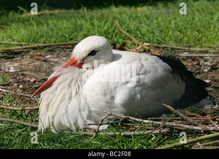 White Stork Sitting on Nest, Ciconia ciconia, Ciconiidae - Stock Photo