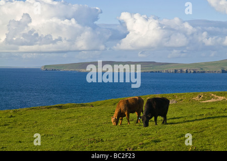 dh Beef cattle FARMING ORKNEY Scottish Beef cows grazing in field livestock scotland fields uk - Stock Photo