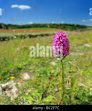 Pyramidal Orchid Anacamptis pyramidalis. Biggin Hill, Bromley, Kent England UK - Stock Photo