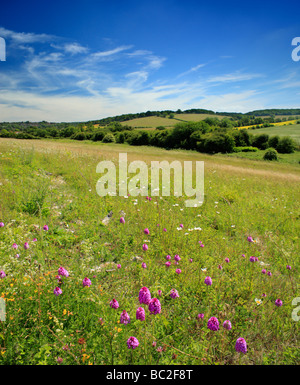 Pyramidal Orchids Anacamptis pyramidalis Biggin Hill, Bromley, Kent, England, UK. - Stock Photo