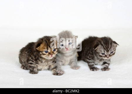 British Longhair Cat, kittens, 2 weeks, black-golden-tabby, blue-silver-tabby and black-silver-tabby / Highlander, - Stock Photo