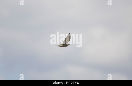 Common Cuckoo Cuculus canorus in flight  April - Stock Photo