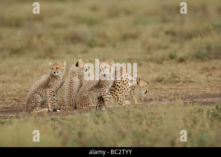 Stock photo of a cheetah family drinking from a puddle, Ndutu, Tanzania, February 2009. - Stock Photo
