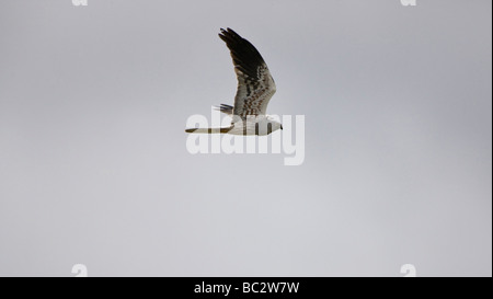 Montagu harrier Circus pygargus hunting whilst on migration - Stock Photo
