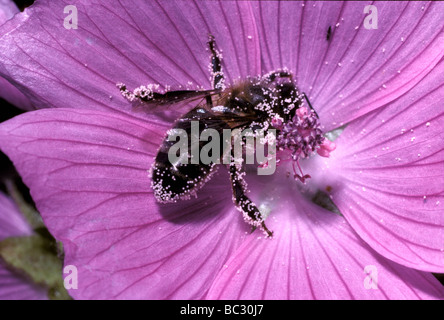 Honey hive bee worker Apis mellifera Apidae foraging on musk mallow Malva moschata and getting well dusted with - Stock Photo