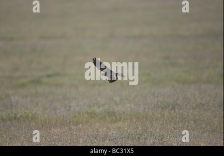 Montagus harrier Circus pygargus hunting whilst on migration - Stock Photo