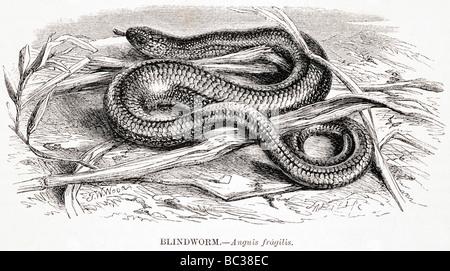 blindworm anguis fragilis - Stock Photo