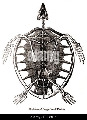 skeleton of loggerhead turtle - Stock Photo
